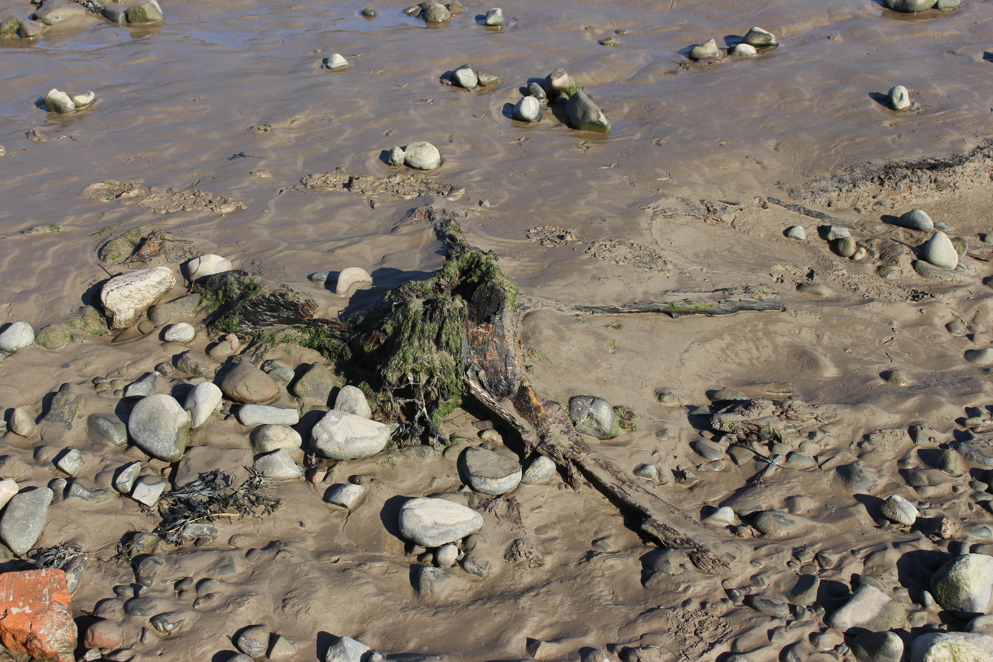 Close up of a sandy and silty beach with a tree stump and roots embedded in the sediment
